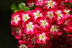 Hawthorn Tree Crimson Cloud Crataegus laevigata stock image
