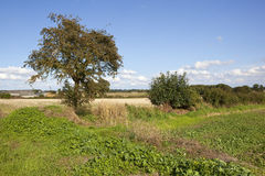 Hawthorn tree and fields. A mature hawthorn tree near straw stubble fields at harvest time with farm buildings under a blue summer sky in the yorkshire wolds Stock Photos