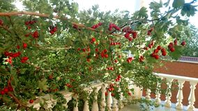 Hawthorn tree in the garden. Branch with berries of hawthorn. Summer. stock photos