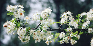 Hawthorn tree shrub. White flowers of Hawthorn. Aged photo. Royalty Free Stock Photo
