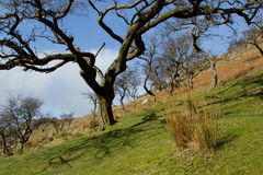 Hawthorn trees. The skeletal shapes of the Hawthorn trees, Crataegus monogyna, on a hillside with grass tuft, green grass and the red of bracken against a blue Stock Image