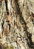 Hawthorn trunk. Stock Photography