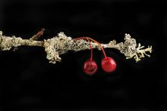 Hawthorn twig with berries covered in lichen against black. Hawthorn twig with berries covered in lichen isolated against black stock photos