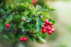 Hawthorn twig with berry. The hawthorn bush with twigs with edible berries in summer, outdoor. Fruits are known to healing properties, strengthens Royalty Free Stock Images