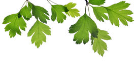 Hawthorn twig with green leaves. Royalty Free Stock Photography
