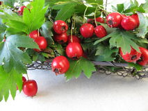 Hawthorn twigs with fruits Stock Image