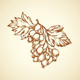 Hawthorn. Vector drawing Stock Image