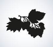 Hawthorn. Vector drawing Stock Photography