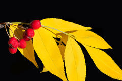 Hawthorn with yellow leaves. Composition on isolated black background Stock Images