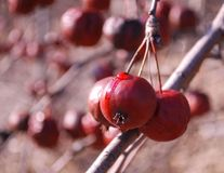 Hawthorne Berries 2. Juicy hawthorne berries on bare branch in winter Royalty Free Stock Photography