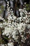 Hawthorne con i fiori bianchi luminosi in primavera immagini stock
