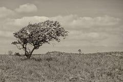 Hawthorne, dado forma pelo vento, nas dunas da Holanda norte no sepia fotografia de stock royalty free