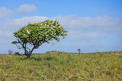 Hawthorne, door de wind, in de duinen van Noord-Holland wordt gevormd dat royalty-vrije stock afbeelding