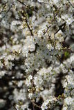 Hawthorne flowers. Flowers on a Hawthorne hedge in April at the East Hill country park at Hastings in East Sussex, England Royalty Free Stock Images