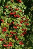Hawthorne fruits Royalty Free Stock Photography