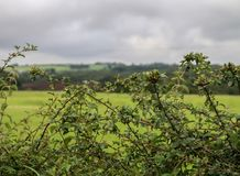 Hawthorne Hedge fotos de stock