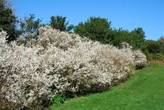 Hawthorne hedge. A Hawthorne hedge flowering in April at the East Hill country park at Hastings in East Sussex, England Stock Photography