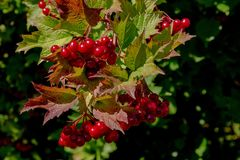 Hawthorne Tree Berries Getting Ready for Fall stock image