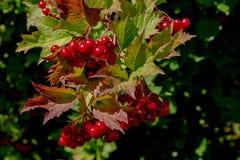 Hawthorne Tree Berries Getting Ready para la caída imagen de archivo