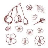 Hawtorn Fiori, germogli, bacche e foglie di cratego Immagini Stock