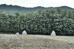 Hay стог в поле риса для подавать буйвола Стоковые Изображения RF