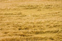 Hay. Texture royalty free stock images