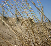 Hay. Waving in the wind Royalty Free Stock Photos