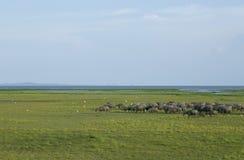 Hay búfalo que pasta el campo en el lago del noi del thale, phatthalung Imagen de archivo