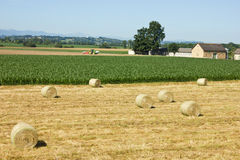 Hay bale. On summer farming stubble field Stock Images