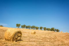 Hay bale in a field, row of olive trees in the background, summer landscape in Tuscany Italy Stock Image