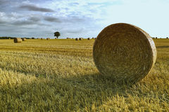 Hay bale in a grain field. Corn field with hay bale rolled into a cylinder Royalty Free Stock Images