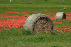 Hay Bale and Indian Paintbrush Flowers. A Hay Bale sits in a field with red Indian Paintbrush flowers Royalty Free Stock Photography