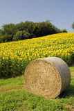 Hay bale with sunflower field. Hay bale on a hill with a field of sunflowers Royalty Free Stock Images