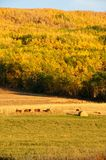 Hay bales  and beef cattle in fall Stock Photos