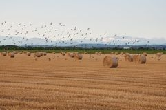 Hay Bales with Birds in Flight 2 Royalty Free Stock Photos