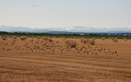Hay Bales with Birds in Flight Stock Photography