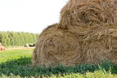 Bales of meadow hay. Hay bales in the field royalty free stock photo