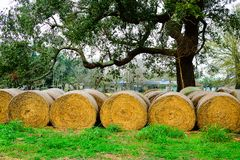 Hay Bales. Under an oak tree at Bayou Lafourche, Louisiana Royalty Free Stock Photography