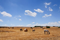 Hay bales and horses. Pasturing in the yellow country of Apulia, Italy Stock Photo