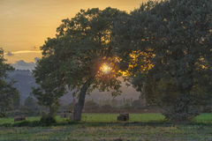 Hay bales in the meadows at sunset, sun between the trees, Gubbi Royalty Free Stock Images