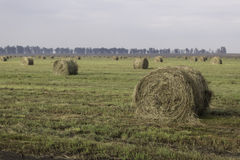 Hay Bales. Rolled Hay bales in the field. Bluegum trees in the distance Royalty Free Stock Photo