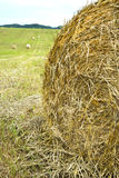 Hay bales rolled in a hay field. Royalty Free Stock Photo