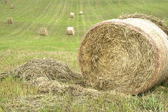 Hay bales rolled in a hay field. Stock Images