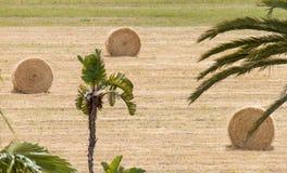 Hay Bales rotondo dietro le palme in un campo in Pafo, isola del Cipro Fotografie Stock