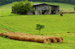 Hay Bales Stand Near An Old Barn And Cattle. Royalty Free Stock Photography