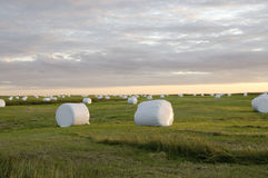 Hay bales in white plastic, Iceland Stock Photo