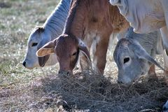 Three Brahma Cows Eating Hay. Hay being consumed from three Brahma calves Royalty Free Stock Image