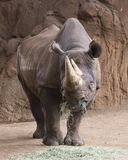 Hay Black Rhino. The Black Rhino is an Endangered Species due to loss of habitat and loss of horns Royalty Free Stock Photography