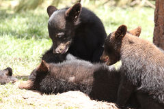 Hay brother. Three black bear cubs playing Royalty Free Stock Photo