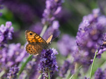 Hay butterfly (Coenonympha pamphilus) Stock Photos